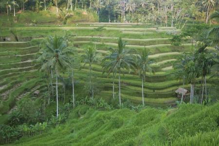 tegalalang: Tegalalang rice terrace, bali, indonesia