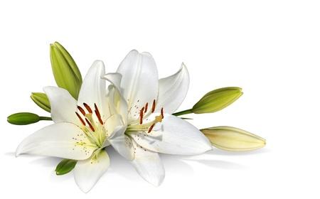 lirio blanco: Flores de Pascua Lily sobre fondo blanco Foto de archivo