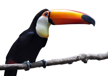 Toco Toucan isolated on white background
