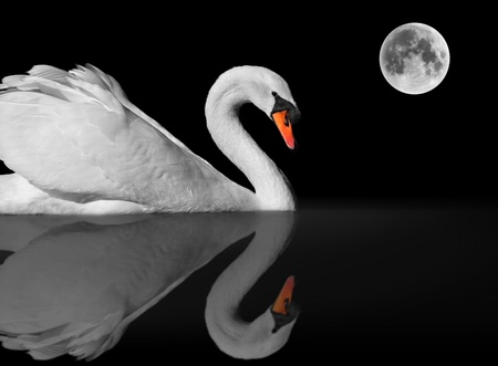 graceful white swan with reflection under full moon photo