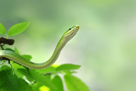 limbless: green snake Stock Photo