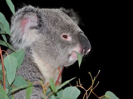 arboreal: Cute koala eating eucalyptus