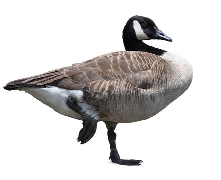 Canada goose isolated Stock Photo - 12460308