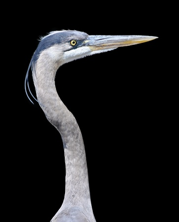 great blue heron: Great Blue Heron Stock Photo
