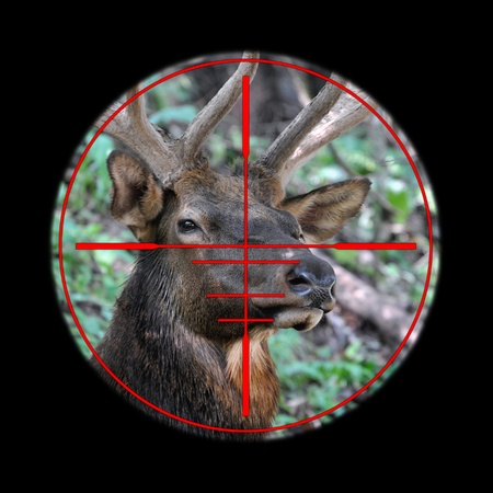 Big elk buck in hunting rifle scope Stock Photo