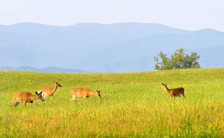 great smoky mountains national park: Wild deer at Cades Cove valley in the Great Smoky Mountains National Park in Tennessee