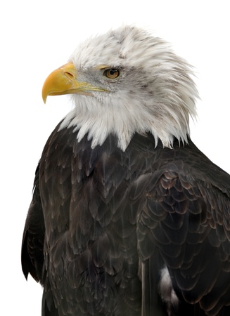 Bald Eagle isolated photo