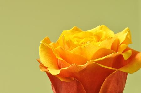 Yellow and orange rose close-up photo