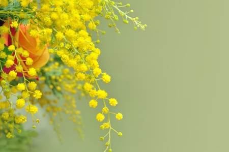 fraue: Gelbe Mimosen, das Symbol des Internationalen Frauentags s Day Lizenzfreie Bilder