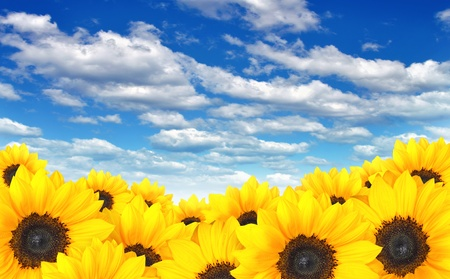 Field of yellow sunflowers under a blue summer sky photo