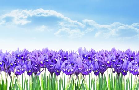 Dwarf purple iris flower border in early spring Stock Photo