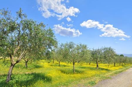 arboleda: Olivar en el campo de la Toscana italiana Foto de archivo