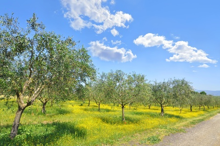 Olive grove in the Italian Tuscan countryside