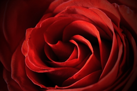 Beautiful red rose center close-up macro photo