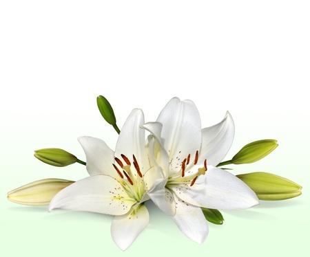 white lily: Lirio de Pascua flores, tambi�n conocidos como lirios de noviembre Foto de archivo