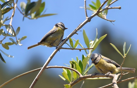 Blue tit male and female in an olive tree 免版税图像