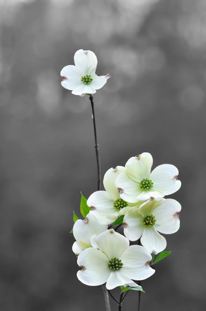 White dogwood flowers in spring