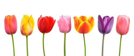 Multi-colored tulips in a row; pink, yellow, red, orange, and purple Stock Photo - 13225823