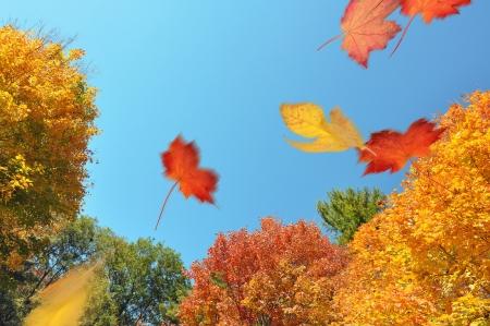 hojas secas: Hojas soplando a trav�s de un bosque de oto�o Foto de archivo