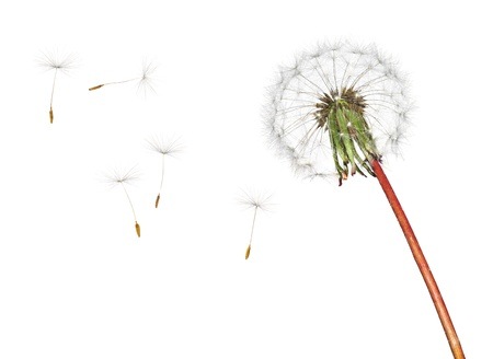 dandelion wind: Dandelion isolated on white background Stock Photo