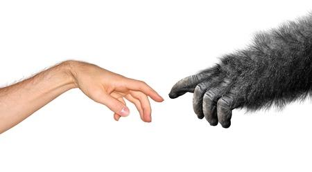 gorilla: Evoluci�n y or�genes concepto basado en la pintura de Miguel �ngel s, La creaci�n de Ad�n