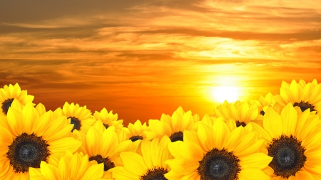 Flower background of yellow sunflowers at sunset photo