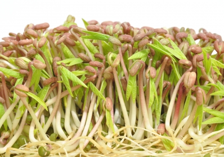 germinate: Healthy mung bean sprouts, a common food ingredient of Asian dishes
