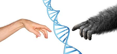 Genética concepto ascendencia común para la evolución de los primates Foto de archivo