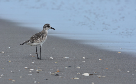 birdlife: Sandpiper seabird along the coast at sunrise Stock Photo
