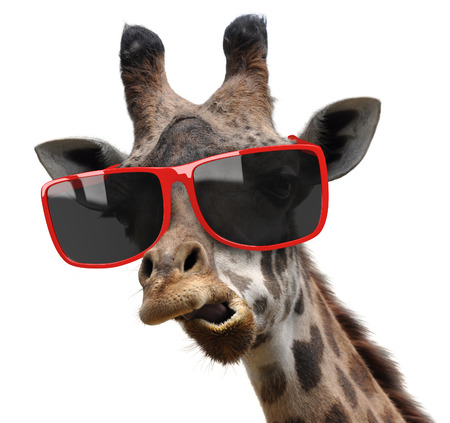 girafe: Funny vogue fashion portrait of a giraffe with modern hipster sunglasses Stock Photo