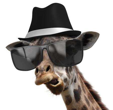 jirafa fondo blanco: Animal del retrato divertido de un detective jirafa con tonalidades y un sombrero de fieltro Foto de archivo