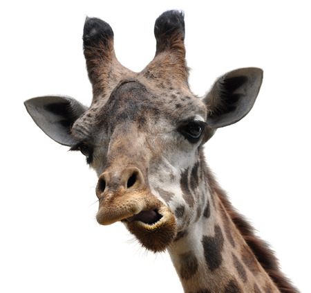 animal head: Funny animal portrait of a giraffe with an unusual face Stock Photo