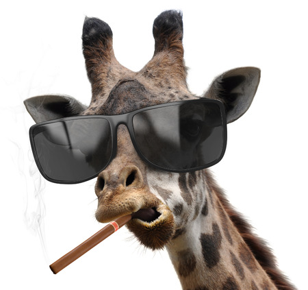 Macho giraffe with cool sunglasses smoking a cuban cigar like a boss