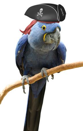 sombrero pirata: Enfriar y inusual pirata retrato loro pájaro