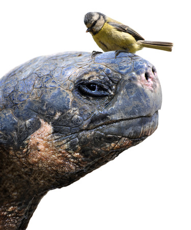Animal friends, a giant Galapagos tortoise and a small bird, the Eurasian blue tit photo