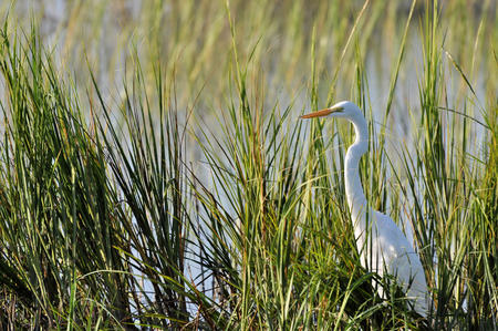 reed: Great egret or common egret hunting in reeds at Huntington Beach South Carolina
