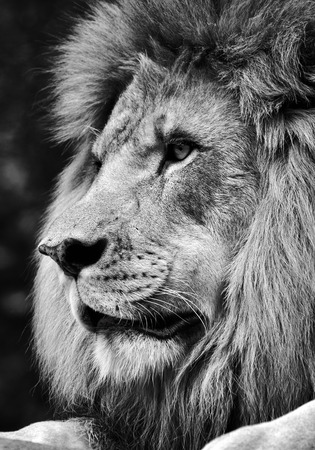 High contrast black and white of a powerful male lion face