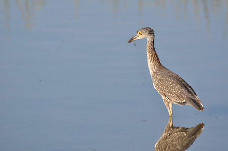 Young yellowcrowned night heron wading in shallow water in search of food Stock Photo