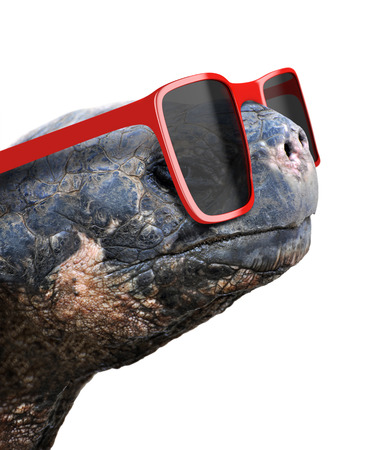 red animal: Funny animal portrait of an old galapagos tortoise with big red nerdy sunglasses