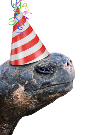 Old tortoise party animal wearing a red and white striped birthday hat