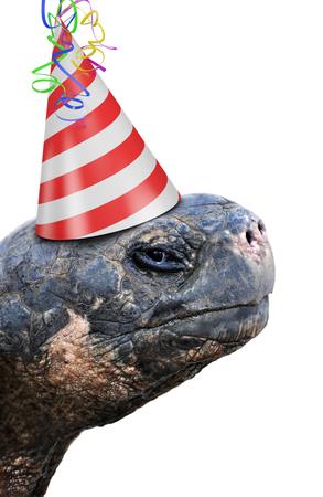 auguri di compleanno: Vecchia tartaruga partito animale che indossa un cappello di compleanno a strisce rosse e bianche