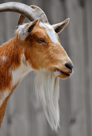 billy goat: Side portrait of a male billy goat face with a long beard