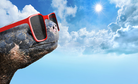fun in the sun: Tortoise with sunglasses enjoying fun in the sun on a hot summer day