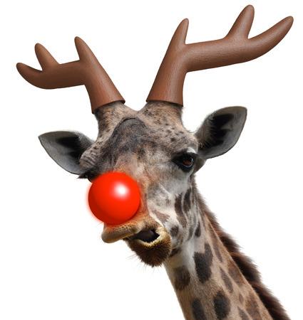 クリスマスの赤いサンタ クロース赤鼻のトナカイに扮した面白いキリン顔 写真素材