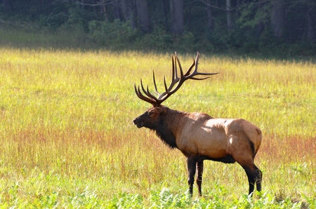 great smoky mountains national park: Bull elk during autumn at Cataloochee Valley in the Great Smoky Mountains of North Carolina