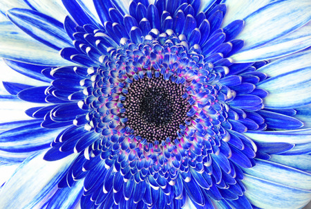 blue petals: Blue flower macro background of petals and stamens in high detail Stock Photo