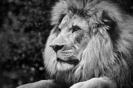 LEONES: Fuerte contraste entre el blanco de un león macho en una pose real y negro Foto de archivo
