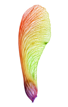 Beautiful maple seed illuminated by the colors of the rainbow Stok Fotoğraf