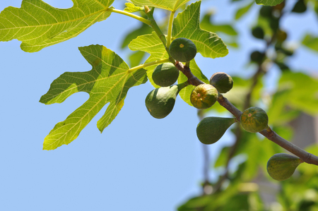fig tree: Young green fruits on a fig tree branch