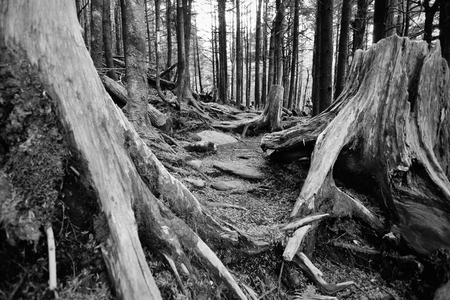 kwaśne deszcze: Old decaying spruce pine forest damaged by acid rain from air pollution at Mount Mitchell, NC